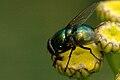 Neomyia.cornicina.male.jpg