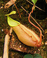 Nepenthes chang rosette cropped.jpg
