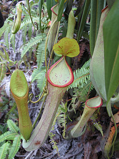 <i>Nepenthes macrovulgaris</i> Tropical pitcher plant endemic to Borneo