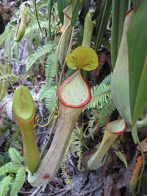 Nepenthes macrovulgaris - Aerial traps of a narrow-pitchered form of N. macrovulgaris growing at 100–150 m above sea level in Sabah, Borneo