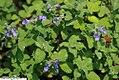 Nepeta racemosa Little Titch 1zz.jpg