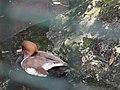 Netta rufina or Red-crested Pochard from Bannerghatta National Park 8554.JPG