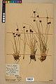Neuchâtel Herbarium - Juncus jacquinii - NEU000044967.jpg