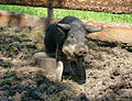 Nienetwiler Wollschweinchen.jpg