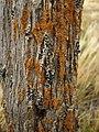 Nitrophilus Crust Lichens (3260846323).jpg