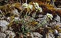 Noccaea montana, Berg-Täschelkraut, Brassicaceae 01.jpg