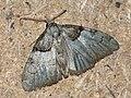 Nola cucullatella - Short-cloaked moth - Карликовый шелкопряд серо-бурый (27263560358).jpg