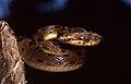 Northern Cat-eyed Snake (Leptodeira septentrionalis) (36881496461).jpg