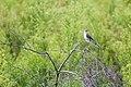 Northern mockingbird (20659723235).jpg
