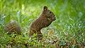Nutty squirrel (48802400142).jpg