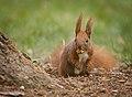 Nutty squirrel (explored) - Flickr - hedera.baltica.jpg