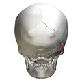 Occipitomastoid suture - skull - posterior view01.png