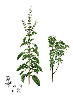 Ocimum sp Blanco2.257-cropped.jpg