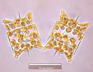 Biddulphiophycidae - Odontella aurita
