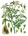 Oenanthe aquatica - Köhler–s Medizinal-Pflanzen-228.jpg