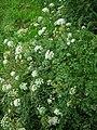 Oenanthe crocata1.jpg