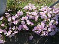 Oenothera speciosa flowers.jpg