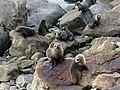 Ohau Point Seal Colony. New Zealand.FZ200 (14315911510).jpg