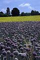 Oignons(fleurs) Cl J Weber01 (23381621270).jpg