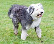 An Old English Sheepdog in a shorter coat clip.