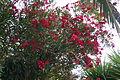 Oleander 15 2013-07-10.jpg
