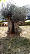 Olive tree 001.jpg