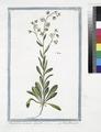 Omphalodes Lusitanica, Lini folio - Petite Bourrache. (Navelwort) (NYPL b14444147-1125068).tiff
