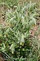 Onosma irritans (Boraginaceae) (32363061753).jpg