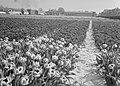 Ontginning, zaaien en oogsten gewassen, bollen, Bestanddeelnr 160-0212.jpg