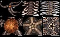 Ophiocoma aethiops (zookeys.406.6306) 01.jpg
