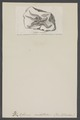 Ophiura constellata - - Print - Iconographia Zoologica - Special Collections University of Amsterdam - UBAINV0274 007 02 0057.tif