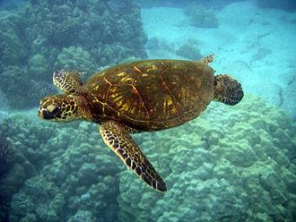 Saint Mary Parish, Jamaica - Sea Turtle in Oracabessa Bay Fish Sanctuary