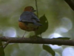 Dosiero:Orange-headed Thrush.ogv