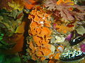 Orange pore-plated false corals at Bakoven Rock DSC10996.JPG