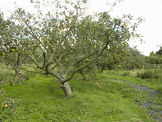Orchard - A community apple orchard originally planted for productive use during the 1920s, in Westcliff on Sea (Essex, England)