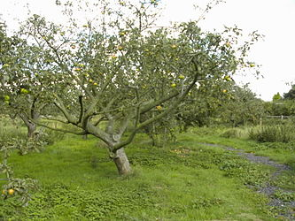 Fruit tree pruning wikipedia - Spring trimming orchard trees healthy ...