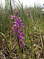 Orchis des marais (9043096651).jpg