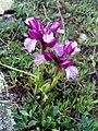 Orchis papilionacea Habitus 04April2009 DehesaBoyalPuertollano.jpg