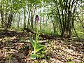 Orchis purpurea sl1.jpg