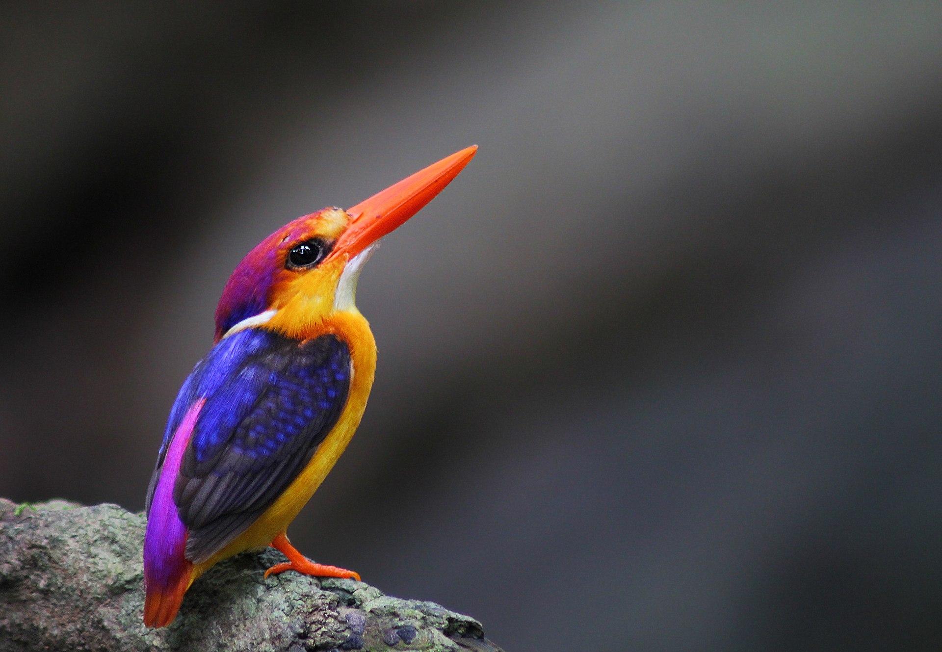 Asian kingfisher
