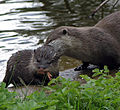 Oriental Small-clawed Otters at Edinburgh Zoo.jpg