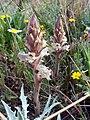 Orobanche amethystea.jpg
