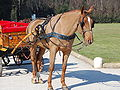 Orsopapera-cavallo 003.JPG