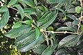 Osmanthus fragrans Sweet Olive სურნელოვანი ზეთის ხე.JPG