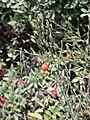 Osyris alba with fruit.JPG