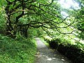 Overhanging tree on the Heddon's Path - geograph.org.uk - 917641.jpg
