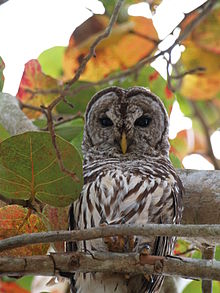 Owl Barred 58.JPG