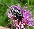 Oxythyrea funesta. Scarabaeidae (15659282003).jpg