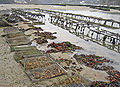 Oyster culture in Belon, France 01.jpg