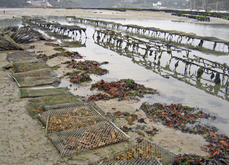 File:Oyster culture in Belon, France 01.jpg